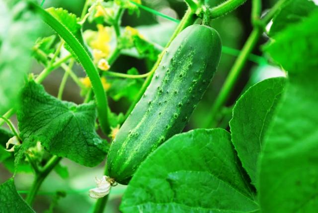 Посев огурцов в открытый грунт семенами в 2021 году по лунному календарю: благоприятные дни