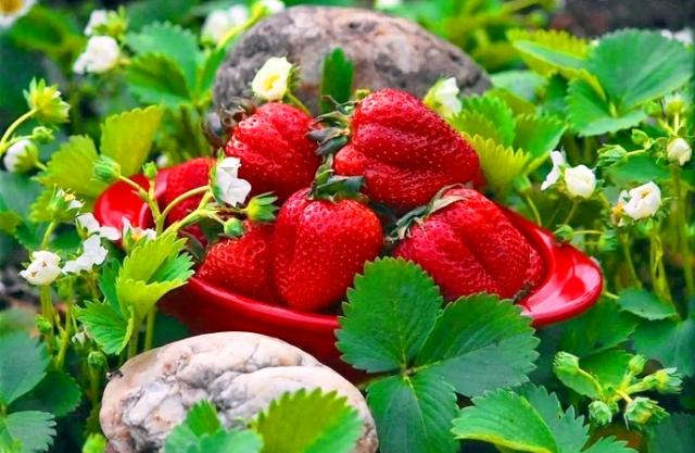 Подкормка клубники осенью для большого урожая: чем подкармливать, сроки