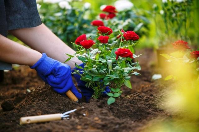 Подкормка роз осенью: чем удобрять, сроки внесения подкормок