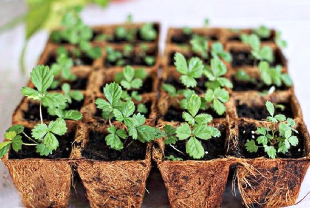 Посев клубники на рассаду в 2021 году: сроки, благоприятные дни