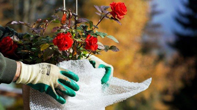 Как правильно укрыть розы на зиму: способы, сроки укрытия