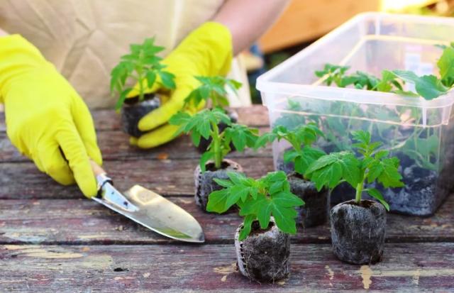 Когда пикировать рассаду помидор в 2021 году: сроки, благоприятные дни
