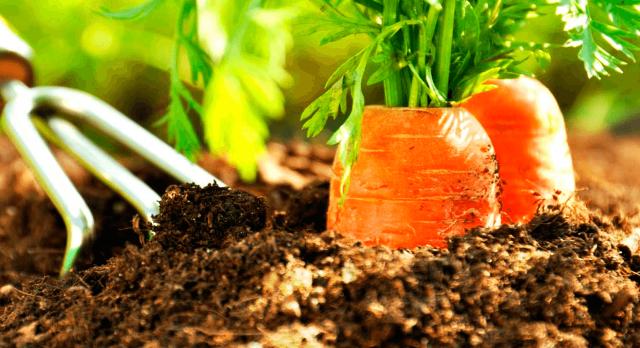 Благоприятные дни для посева моркови в 2021 году: сроки