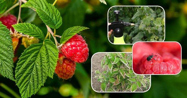Обработка малины весной в 2021 году от болезней и вредителей: чем и когда обрабатывать