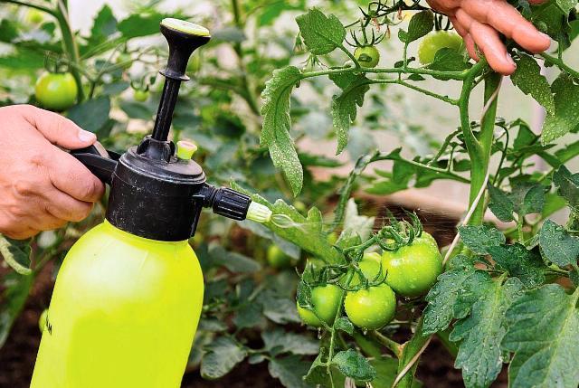 Чем подкормить помидоры после высадки в открытый грунт в 2021: сроки, лучшие средства