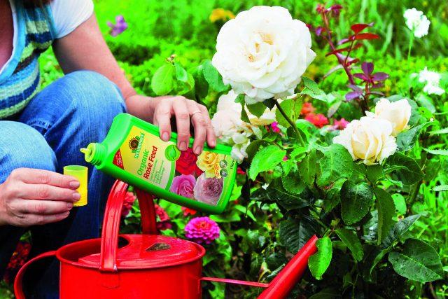 Чем подкормить розы для пышного цветения: лучшие средства, сроки