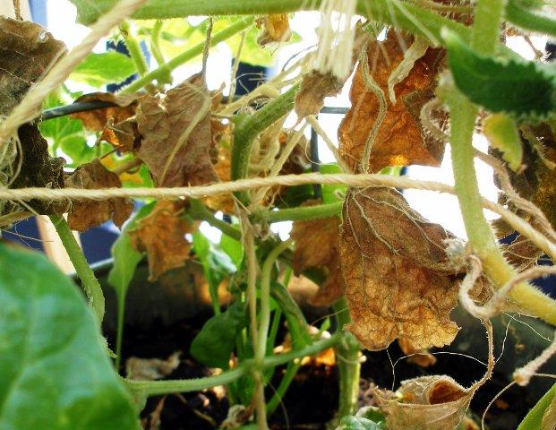 Почему сохнут листья у огурцов: причины, методы борьбы, эффективные средства