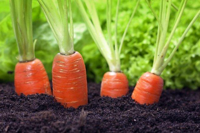 Посадка моркови под зиму в октябре и ноябре 2021 года: сроки, благоприятные дни, лучшие сорта
