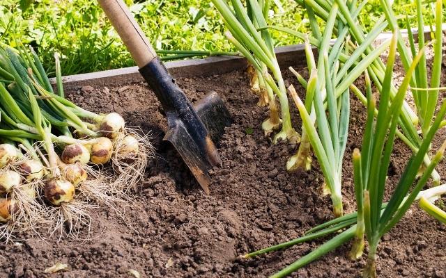 Что можно сажать после уборки лука и чеснока: что посадить, таблица