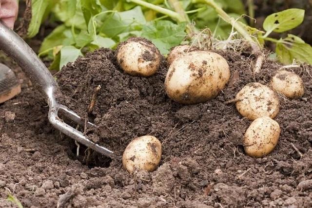 Когда копать картофель в августе 2021 года: благоприятные дни по лунному календарю, сроки