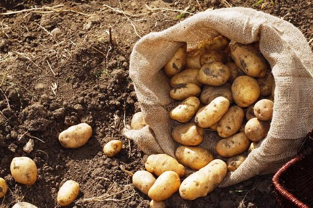 Когда выкапывать картофель на хранение в 2021 году: сроки, благоприятные дни