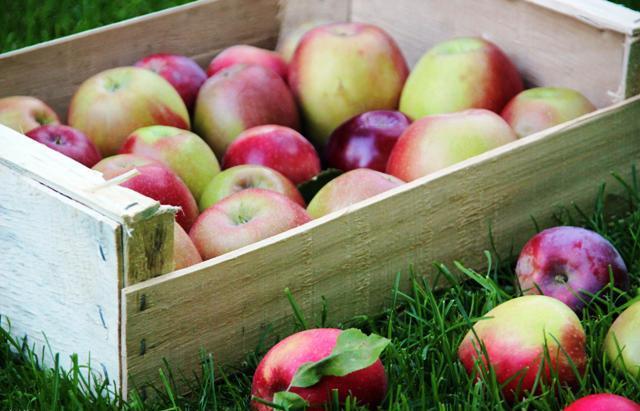 Когда собирать яблоки на хранение в 2021 году: благоприятные дни, как хранить
