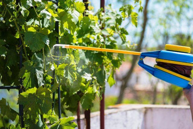 Обработка винограда осенью от болезней и вредителей: чем обрабатывать, лучшие средства