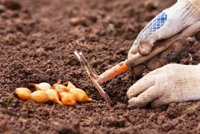Когда садить лук под зиму в 2021 году: благоприятные дни, сроки