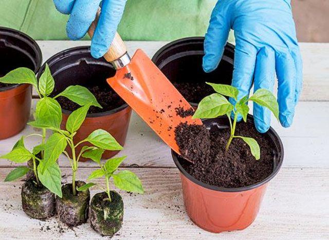 Посев перца на рассаду в феврале 2022 года: сроки, выращивание и уход