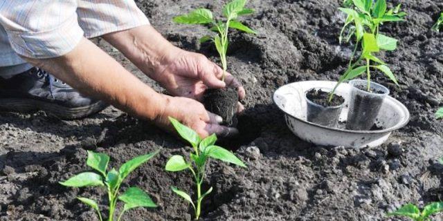 Когда сажать рассаду помидоров в 2020 году по лунному календарю