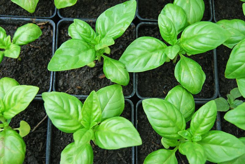 Почва для выращивания базилика втеплице